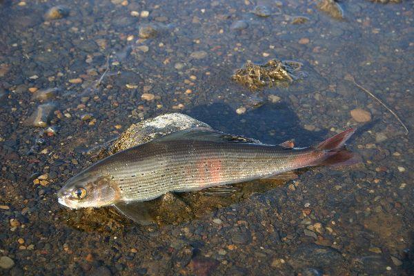 Хариус Сибирский, Рыба, Рыбалка