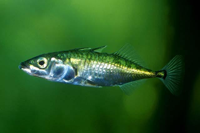 Колюшка трехиглая. Рыбалка. Рыба