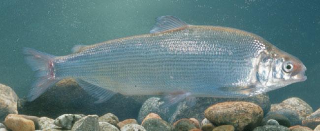 Сырок. Пелядь — высокотелая рыба, резко отличающаяся этим от вытянутых в длину, прогонистых ряпушки, тугуна и омуля. Рыбалка.