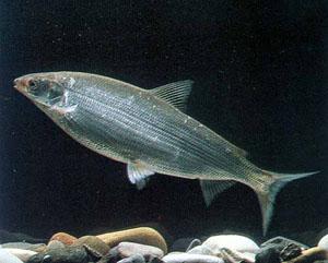 Ряпушка, или рипус, или килец. Рыбалка. Рыба
