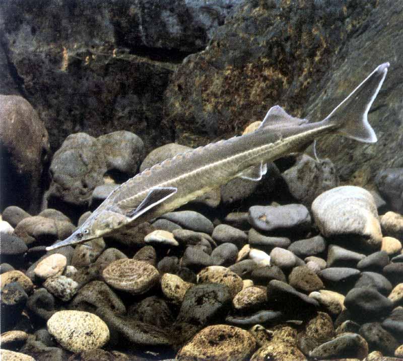 Севрюга — рыба семейства осетровых. Рыбалка