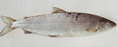 Сиг обыкновенный. Рыбалка. Рыба