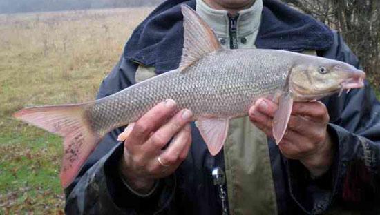 Усач, кубанский, крымский. Рыба. Рыбалка